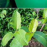 Warning Signs, Symptoms and Side Effects of Kratom Abuse